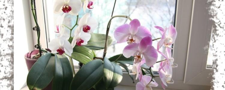 Можно ли держать орхидеи дома — народные приметы и суеверия