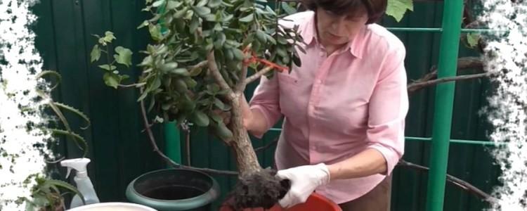Как посадить денежное дерево чтобы водились деньги