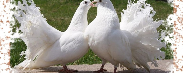 Белые голуби — приметы и народные поверья об этих птицах
