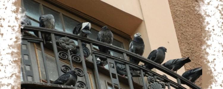 Народные приметы и суеверия о голубях на балконе