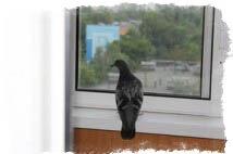 Птица залетела в окно - голубь залетел в окно примета