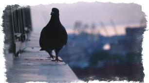 приметы голубь вьет гнездо на балконе