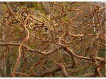 ветки орешника