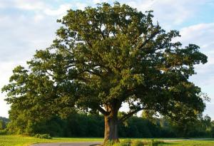 Какие деревья нельзя сажать на участке - дуб
