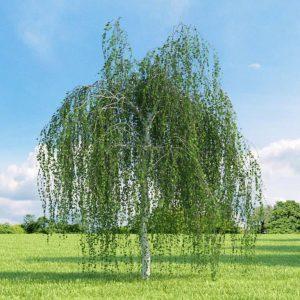 Какие деревья нельзя сажать на участке - Береза