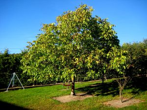 Какие деревья нельзя сажать на участке - Грецкий орех