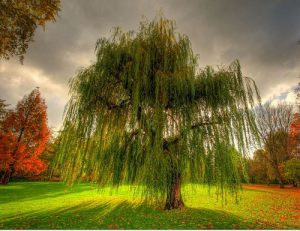Какие деревья нельзя сажать на участке - Верба