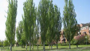 Какие деревья нельзя сажать на участке - Тополь пирамидальный
