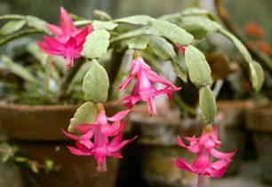 Цветок Декабрист - приметы и суеверия о смерти