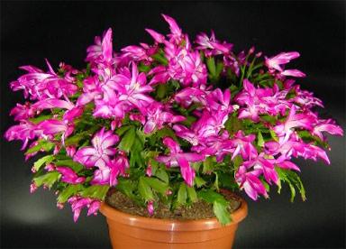Цветок Декабрист — поверья о гостях и недругах