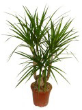 Комнатные растения по знакам Зодиака — Козерог