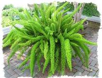 Растения и знак Зодиака Близнецы