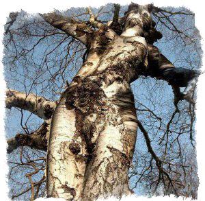 живое дерево лечебные свойства