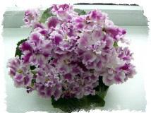 Фиалка в доме – приметы об окраске цветов