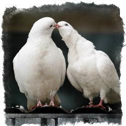 Белые голуби - народные приметы и суеверия об этих птицах