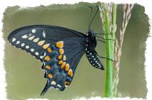 приметы-бабочка залетела в окно