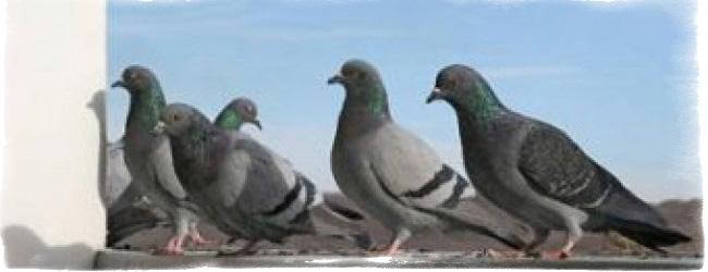 Примета: голуби свили гнездо на балконе