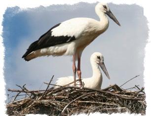 Приметы про аиста и его гнездо