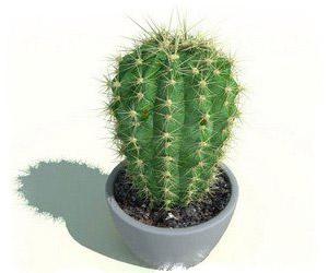 Заговор на срочное получение денег на кактус