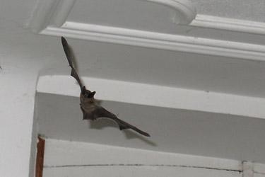 Примета: если в дом залетела летучая мышь